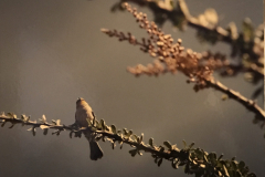 bird-scaled